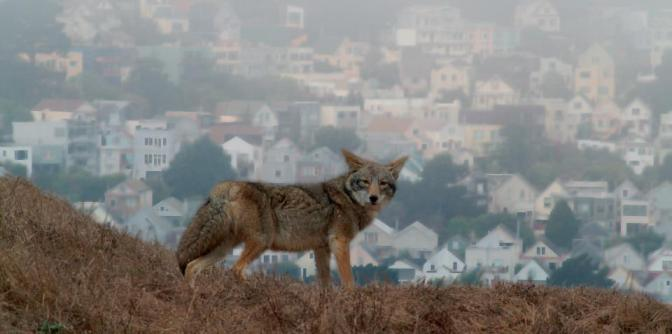Invasion de coyotes