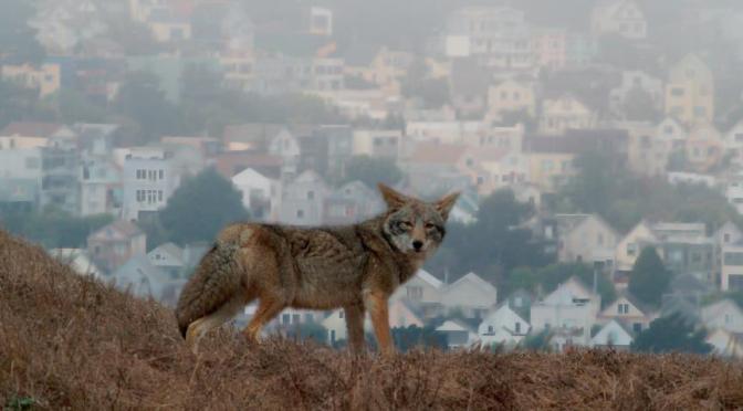 Invasion de coyotes